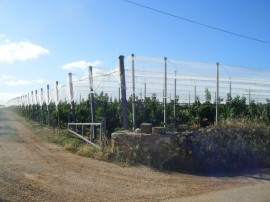 Un nuovo impianto di ciliegie dell'agro conversanese